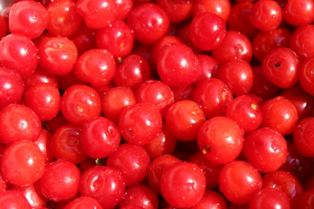 image of branch with red berry of Prunus tomentosa photo