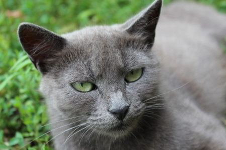image of Siamese cat in the green grass photo