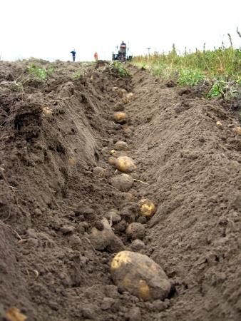 beeld van het proces van het oogsten van een aardappel