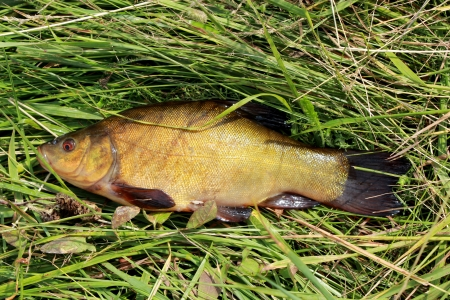 image of caught big tench lying in the grass Stock Photo - 20950905