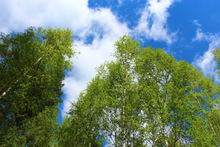 scenery set: image of tops of birches in the spring