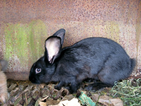 inoffensive: image of small nice black rabbit behind a bar Stock Photo