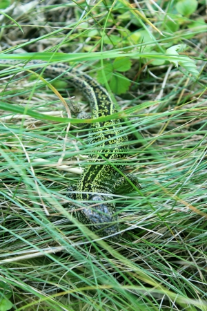The green small lizard in the grass photo