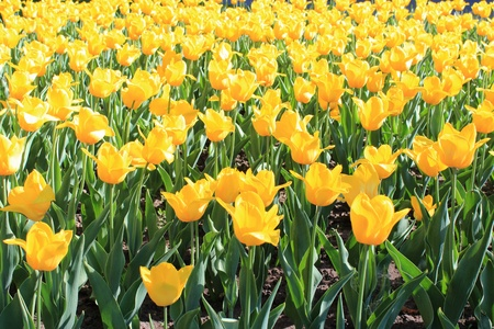 image of yellow tulips on the flower-bed photo