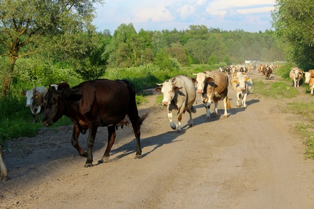 image of cows coming back from pasture Stock Photo - 21685728