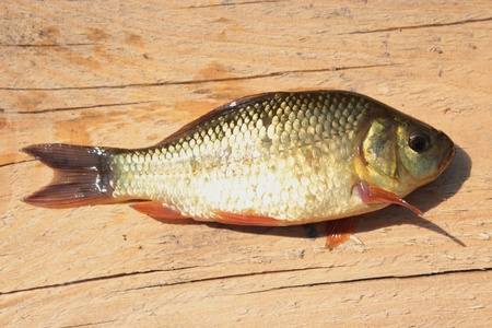 image of caught big red crucian on the wood Stock Photo