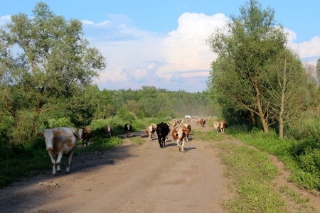 image of cows coming back from pasture Stock Photo - 21685770