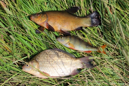 image of caught fishes tench, perch and crucian photo