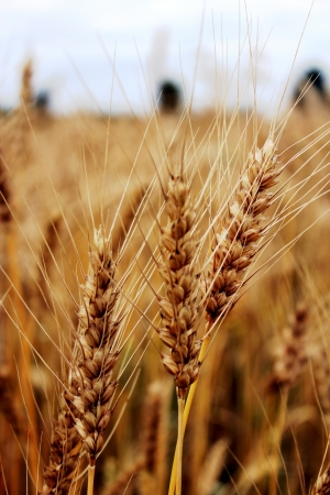 image of the field of spikelets of the wheat photo