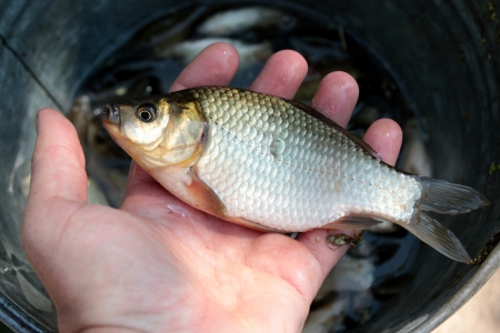 fervour: image of caught big crucian in hand Stock Photo