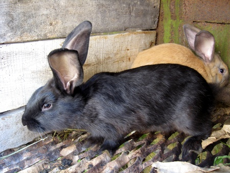 inoffensive: the image of black and brown big nice rabbits Stock Photo