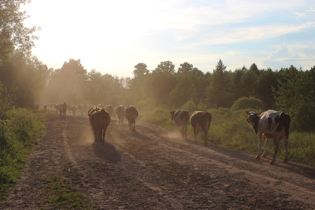 image of cows coming back from pasture Stock Photo - 21916599