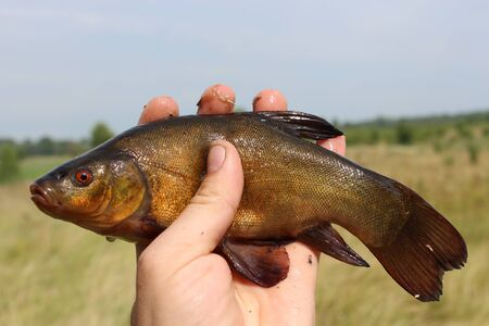 image of caught big tench lying on human hand Stock Photo - 21916795