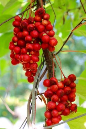 image of branch of red ripe schizandra Stock Photo