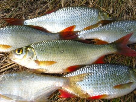 cypriniformes: fresh beautiful caught rudd laying on the grass Stock Photo