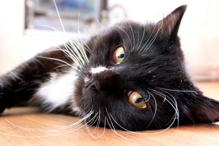 muzzle of black cat lying on the floor photo