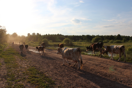 cows coming back from pasture in the evening Stock Photo - 22344480
