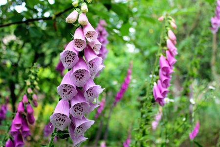 campanula: beautiful flower of lilac bluebell in the garden