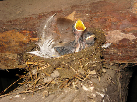 squeal: nest of swallow with parent and nestlings