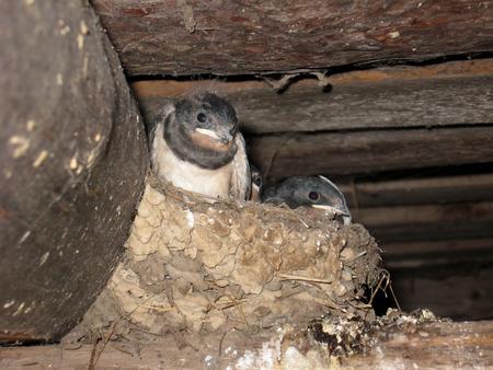 squeal: nido di rondine con il genitore e nidiacei