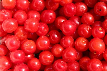 a lot of fruits of red berries of Prunus tomentosa photo