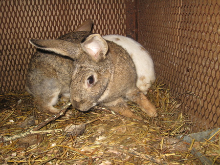 inoffensive: the gray nice rabbit in the farm