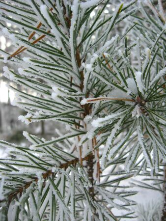 Layer of snow on the fluffy branch of pine with hoar-frost
