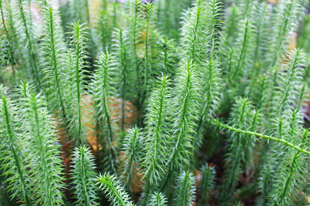 brushwood: green brushwood of Hypnum cupressiforme in the forest