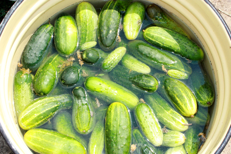 preservation: many ripe cucumbers are prepared for preservation