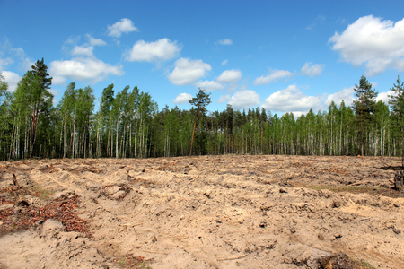 pine forest with slot for planting new pines  in the spring Stock Photo