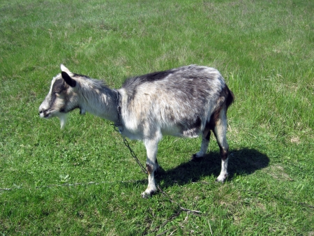 yeanling: gray goat standing on the green pasture