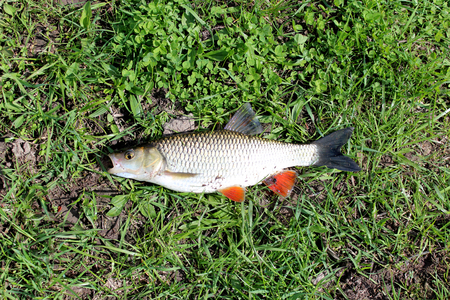 beautiful caught fish chub laying on the grass photo