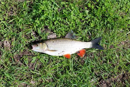 fishingline: beautiful caught fish chub laying on the grass Stock Photo