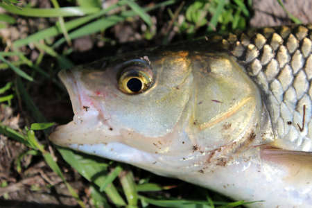 head of caught fish chub laying on the grass photo