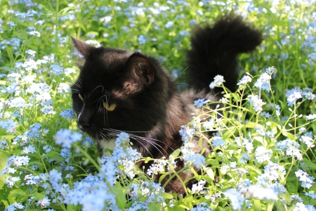 black cat with white tie in the bush of foget-me-not Stock Photo - 24862410