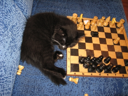 little tired cat-champion sleeps on a chess-board photo