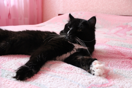 black cat lying prone on the pink matrimonial bed Stock Photo - 24865139