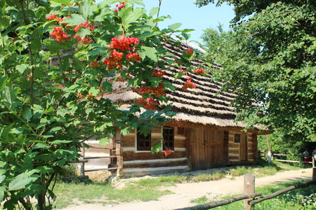 cluster house: Bush of clustered red and ripe guelder-rose besides an old rural house