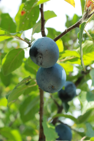plum grove: Fruits of plum hanging on a tree