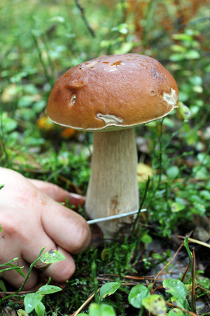 hand with knife cutting off beautiful cep in the forest photo