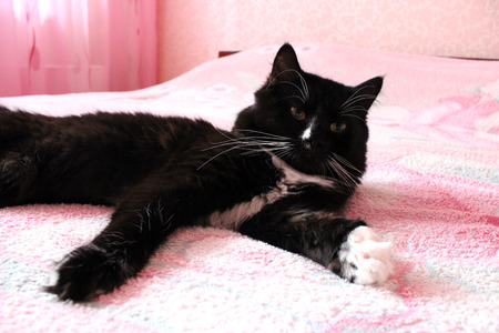 prone: black cat lying prone on the pink matrimonial bed Stock Photo