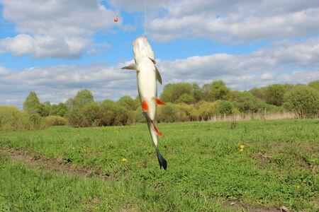 chub: caught beautiful chub on the hook