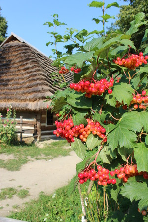 guelderrose: Bush of clustered red and ripe guelder-rose besides an old rural house