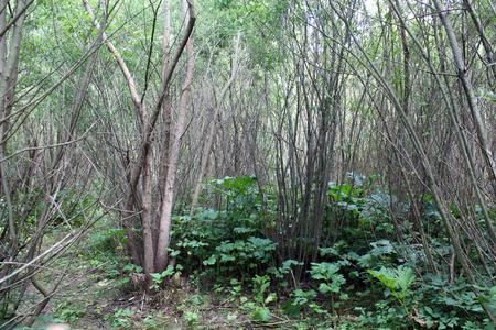 brushwood: dense and  impassable brushwood of pussy-willows