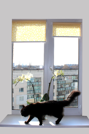 black cat walking on the window-sill with beautiful orchid photo