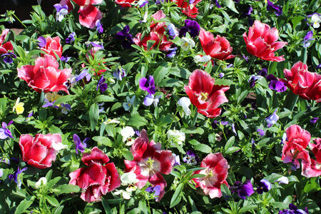 many red beautiful tulips with blue pansy photo