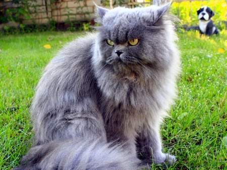 persian green: big Persian cat in the green grass