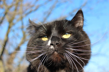 unruffled: black cat with with evil sight on blue sky background