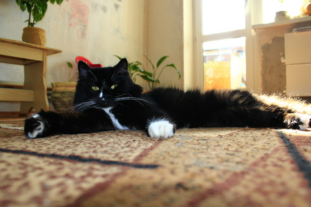 moustached: nice black cat on the carpet