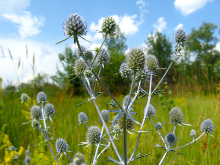 prickly flowers: blue prickly flowers of eryngium in the field Stock Photo